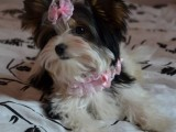 Fenka Biewer Yorkshirký Terrier s PP