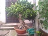 Nabízím bonsai-fikus stáří 53 let