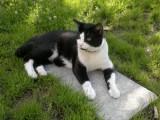 Zmizel černobílý kocour v Rokytnici nad Jizerou