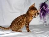 Bengálská koťata s PP prodám