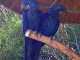 Prodám Hyacint papoušek papoušci