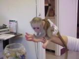 kapucíni opice