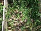 Suchozemská želva zelenava