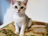 Koťátka k odběru rasa Burmilla