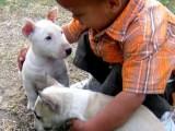 Ockované Mini Bull Teriér štenata