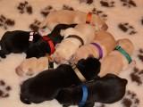 Labrador retriever - rezervace štěňátek