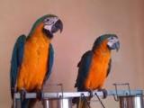 Ara Ararauna papoušci s doklady
