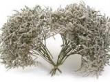 Prodám statici tatariku – krásně bílá a plně rozkvetlá