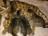 Prodám Bengálska koťátka s PP