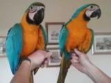 Prodám Ara Ararauna papoušek