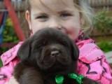 Labrador retriever na predaj s PP