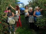 Zber jablk v Italii