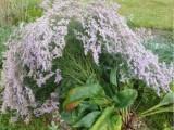 Prodám STATICI ŠIROKOLISTOU (Limonium latifolium)