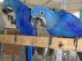 Prodám Hyacint papoušci