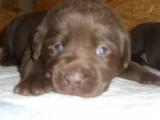 Labradorský retriever s PP čokoládový