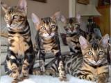 Bengálské koťata