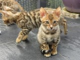 Krásné Serval a koťata F1 Savannah k dispozici