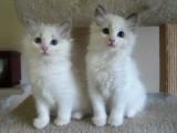samci a samice čistokrevného koťata Ragdoll