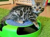 Roztomilé ohromující rozeté Bengal koťata k dispozici