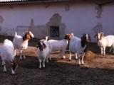 Bůrské kozy