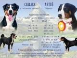 Šteniatka Appenzellského salašníckého psa