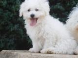Boloňský psík (bílý) s PP pouze pes/štěně