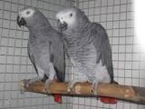 Žako Africké šedé papoušci  pro prodej