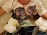 Samec a Samicka Kapucínský opice pro prodej