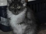 Mainská mývalí koťátka s PP