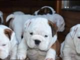 Anglický Bulldog šteniatka - LaChata / Gošin´s Bulldogs