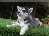 Sibiřský husky mužské a ženské modré oči