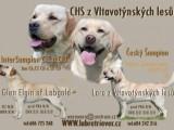 Labrador retriever štěňata