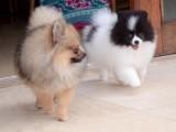 Krásné Pomeranian štěňata k dispozici.