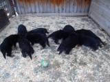 Německý ovčák štěnata - Rokycany