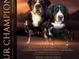 Velký švýcarský salašnický pes - štěně FCI pedigree