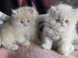 Bílé perské koťátka k dispozici