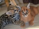 serval, savana, caracal a Ocelot koťata na prodej