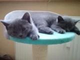 Britska modrá koťátka