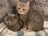 Krásná Britská krátkosrstá koťata s PP.