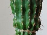 Euphorbia columnaris - 27 cm, velmi vzácná, roubovaná na E. resinifera