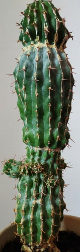 Euphorbia columnaris – 27 cm, velmi vzácná, roubovaná na E. resinifera