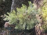 Stromek sekvoje