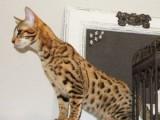 Dobře vyškolená F1 a F2 Savannah a bengálské kotě