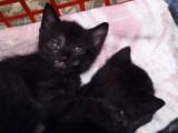 Daruji koťata křížence britské a evropské kočky