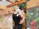 Zdravé štěňata Labradorský retriever s PP