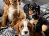 Cavalier King charlse Pups na prodej