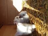 prodám zakrslé králíčky