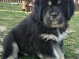 Tibetská doga - šteniatka k odberu po 15.11.2020