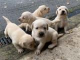Labradorský retrívr štěňata na prodej