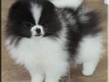 Pomeranian trpasličí špic štěně